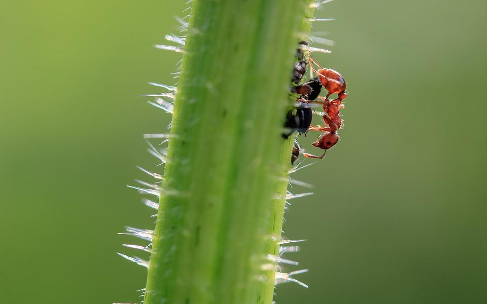Brown Wegameise, Lasius Brunneus, Ant, Tiny, Garden Ant