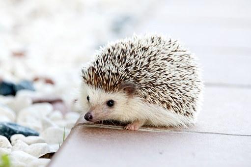 hedgehog 468228 340 1