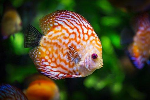 discus fish 1943755 340
