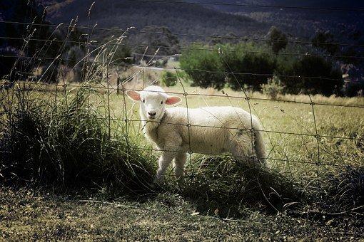 lamb 451982 340